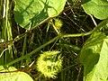 Mooloolah-wild-passion-fruit-1021.jpg