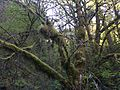 Moss-covered trees in the Columbia River Gorge - April 2015.JPG