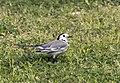 Motacilla alba - Akkuyruksallayan 02.jpg