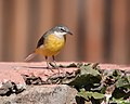Motacilla cinerea -Teror, Gran Canaria, Canary Islands, Spain-8.jpg