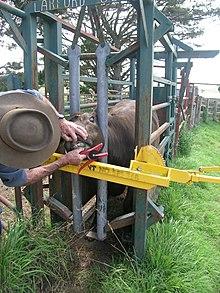 Livestock Crush Wikipedia