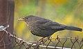 Mrs Blackbird (34141390470).jpg