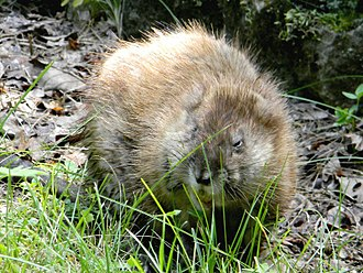 Muskrat - A muskrat near a spring at Onondaga Cave State Park in Missouri