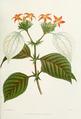 Musscenda-macrophylla.png