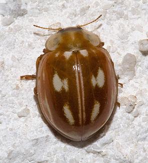 Längsfleckiger Marienkäfer (Myzia oblongoguttata)