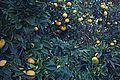 N20141125-0001—Citrus × sinensis—Berkeley (15907142725).jpg