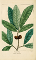 NAS-015 Quercus imbricaria.png