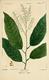NAS-085 Oxydendrum arboreum.png