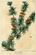 NAS-153 Larix laricina.png