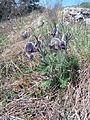 NPP Kotýz - Pulsatilla pratensis subsp. bohemica (April 2015) 03.JPG