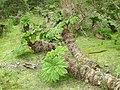 Nalca (Gunnera tinctoria) - Chiloé National Park - panoramio.jpg