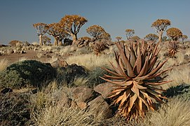 Namibie Quivertree Forest 03.JPG