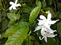 Nandibattalu.( Crape jasmine). flowering plant closer view.jpg