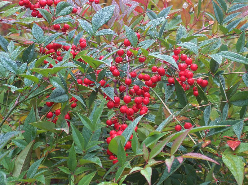 File nandina domestica wikimedia commons for Pianta nandina