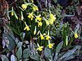 Narcissus 'Tête á Tête' at Nuthurst, West Sussex, England 01.jpg
