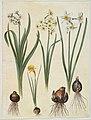 Narcissus tazetta; Narcissus orientalis; Corbularia bulbocodium.jpg