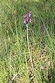 Narrow-leaved Marsh Orchid - Dactylorhiza traunsteineri (14227855730).jpg