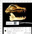 Naturalis Biodiversity Center - RMNH.MAM.4997 lat - Pteropus vampyrus malaccensis - skull.jpeg