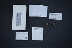 240px naturalis biodiversity center   rmnh.mol.159908 1   littoraria subvittata reid, 1986   littorinidae   mollusc shell