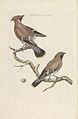 Nederlandsche vogelen (KB) - Bombycilla garrulus (201pl).jpg