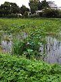 Nelumbo nucifera in a pond.jpg