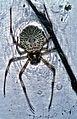 Nephilid Spider Herennia multipuncta (7911927038).jpg