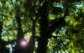 Nessebar - Old Town Jungle Tree Sun Beam (40500055685).png