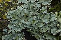 Net-marked Parmelia - Parmelia sulcata (26468919268).jpg