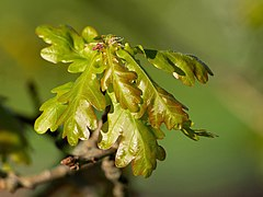 New oak leaves with female flowers.jpg