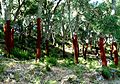 Newly stripped Cork Oaks - Flickr - gailhampshire.jpg