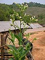 Nicotiana tabacum habitus Laos.jpg