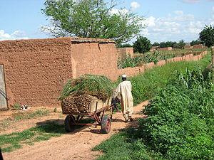 Agriculture in Niger - A farmer collecting his millet harvest near Koremairwa in the Dosso department.