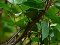 Njaanjetti (Malayalam- ഞാഞെട്ടി) (3132741514).jpg