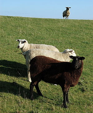 Sheep in Nordstrand, Nordfriesland, Germany