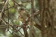 Northern Brownbul - Meru - Kenya 06 8252 (16429554424).jpg