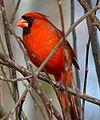 Northern Cardinal Male-27527.jpg