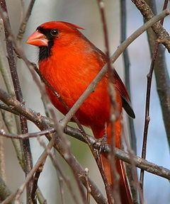 Northern Cardinal Male-27527.jpg