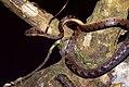 Northern Cat-eyed Snake (Leptodeira septentrionalis) (36850345752).jpg