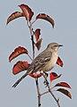Northern Mockingbird - Minus polyglottos, Occoquan National Wildlife Refuge, Woodbridge, Virginia (37856890245).jpg