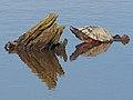Northern Red-bellied Cooter - Pseudemys rubriventris, Blackwater National Wildlife Refuge, Cambridge, Maryland- (38650193226).jpg