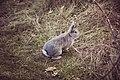 Northfield Rabbit (16219131634).jpg