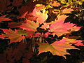 Norway maple leaves in New Hampshire.jpg