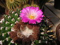 Notocactus-herteri-HBG-7667.jpg
