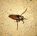 Notonecta glauca (29705232207).jpg