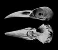 NovitatesZoologicae18 Pl02 Corvus moriorum.png