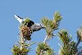 Nucifraga columbiana Pinus flexilis.jpg