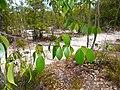 Nyilas Padang (Parastemon urophyllus) leaves (15767639662).jpg