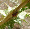 Nymph of Spilostethus pandurus. Lygaeidae. - Flickr - gailhampshire.jpg