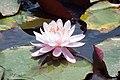 Nymphaea Firecrest 5zz.jpg