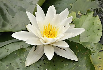 Nymphaea alba - Image: Nymphaea alba in Duisburg